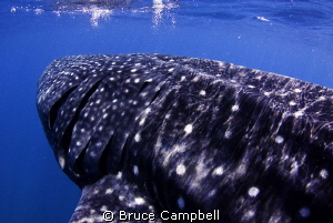 Drafting a whale shark by Bruce Campbell 